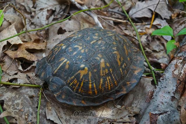 naturist 0000 tortoise @ Sunny Rest, PA, USA