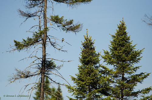 Daks: Typical Flycatcher View in the Adirondacks