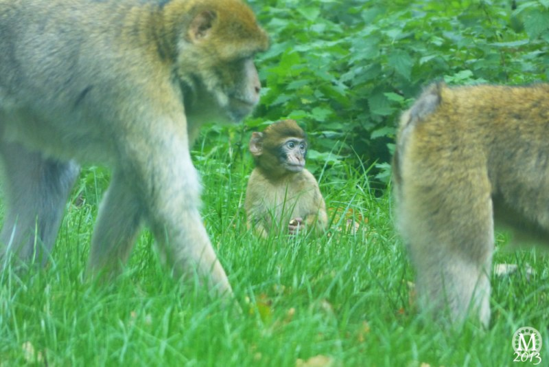 Patas Monkey & Barbary Macaque Enclosure