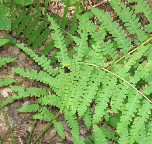 Fern, Lime Rock Preserve