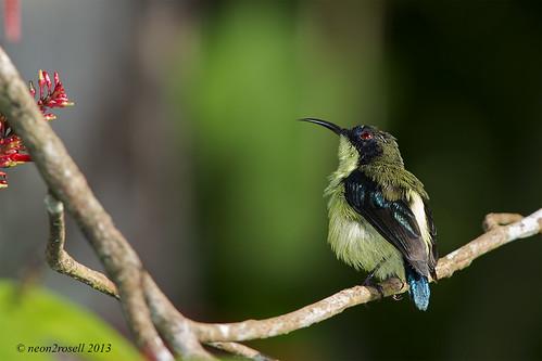 Bohol Sunbird - Male (Aethopyga decorosa)