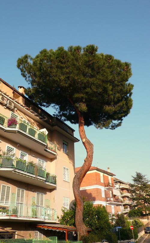 Roman Pine