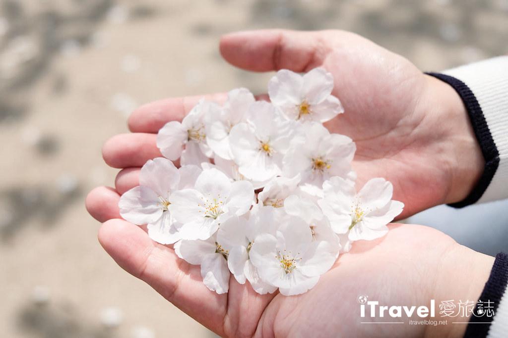 首尔赏樱景点 乐天塔石村湖 (45)