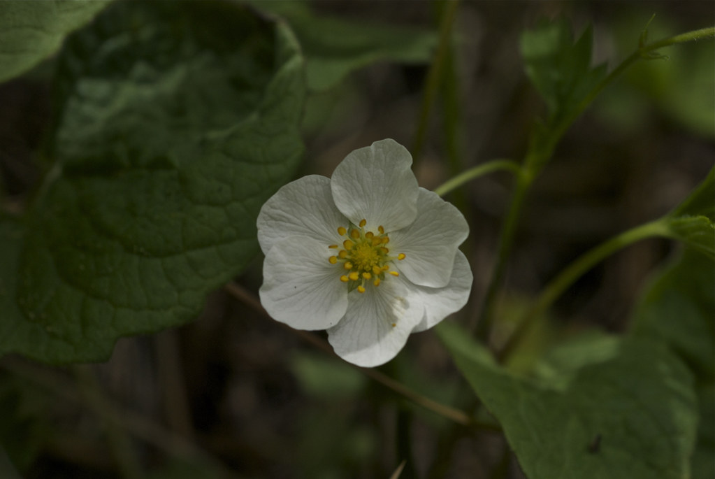 Woodland Strawberry