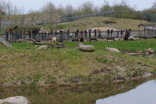 Braunbären im Skandinavisk Dyrepark in Kolind