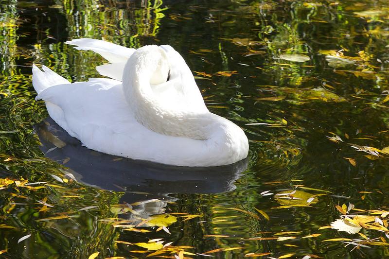 swan. Striyskiy park, Lviv, Ukraine