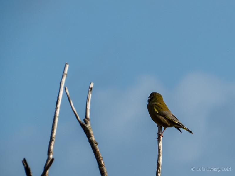 Greenfinch on Canford Heath