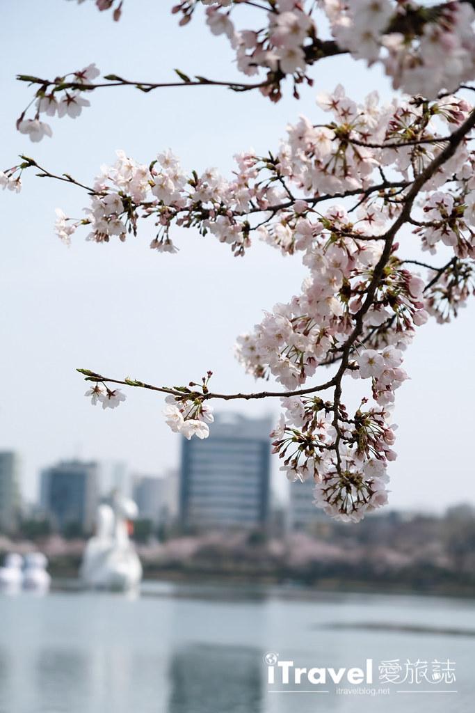 首尔赏樱景点 乐天塔石村湖 (7)