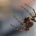 Spider D7K_8647 zoomF