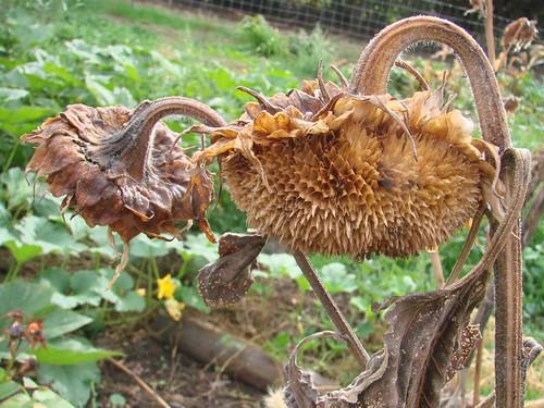 DriedSunflower2