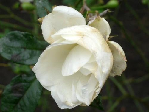Weiße Rose im Advent