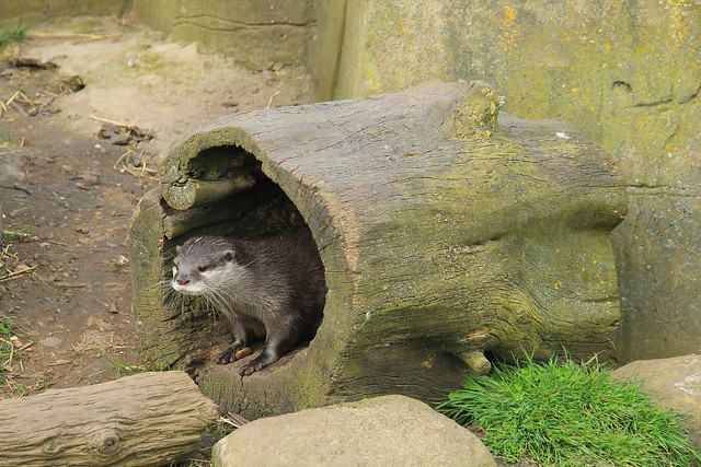 a large hollow stump lies on its side. A little otter stands in the log, peering out, as if it's just woken up.