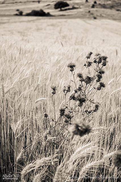 Pozondón entre campos #3