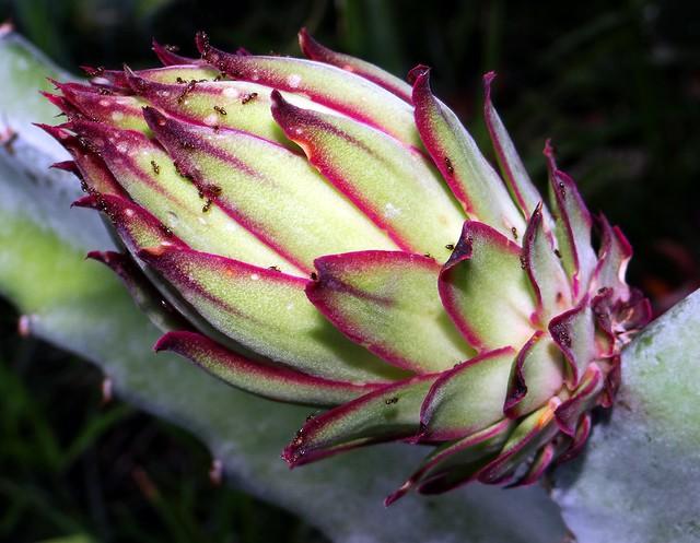 DRAGONFRUIT Series  #4b: Flower Bud