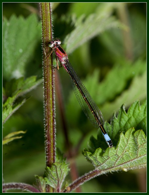 Common Blue Damselfly variant