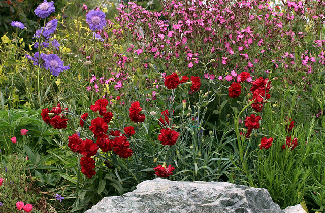 dianthus_queen_of_hearts