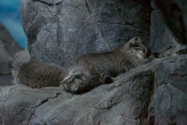 Pallas' Kitten Cuddle Puddle