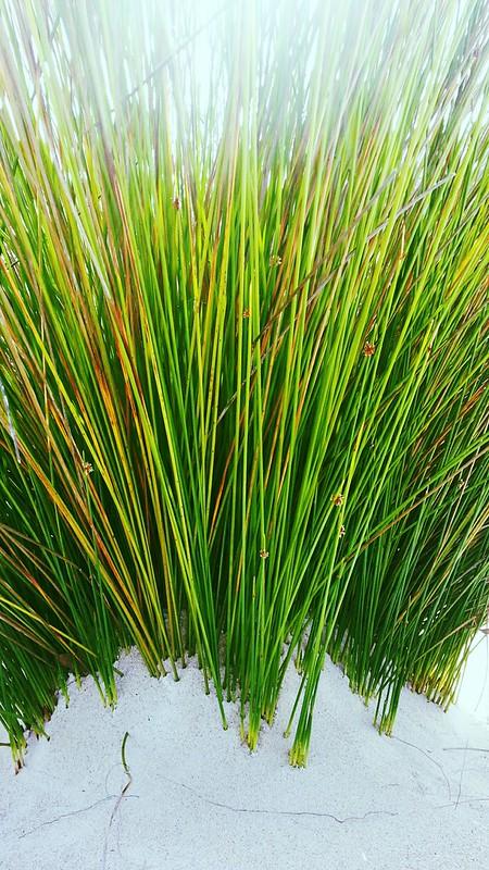 Green Reeds in the Little Sahara sand dunes.