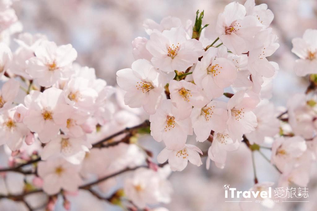 首尔赏樱景点 乐天塔石村湖 (43)