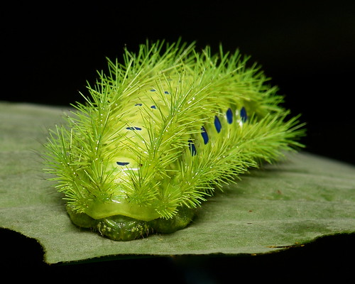 """Stinging Nettle Slug Caterpillar (Cup Moth, Limacodidae) """"Submarine"""""""