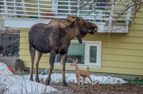 Moose in Anchorage