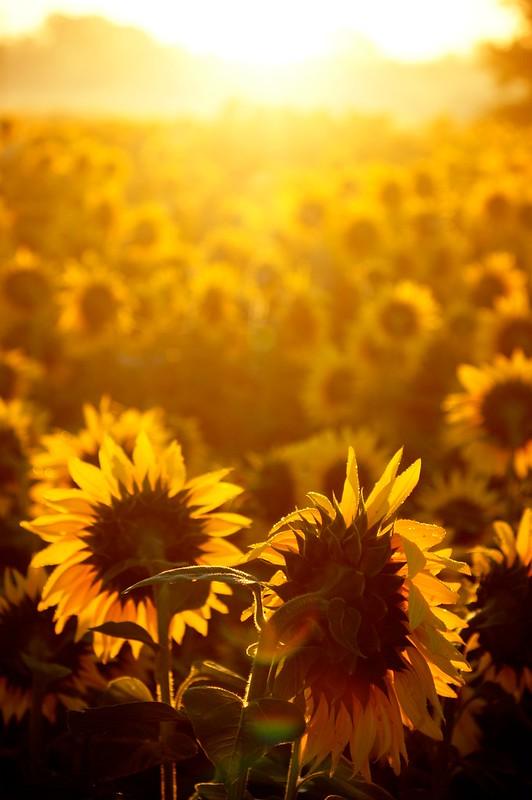 Dawn Sunflower 5