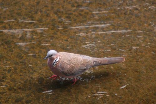 wading dove