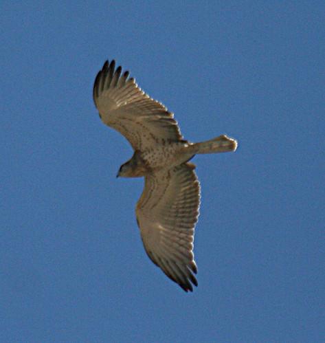 Short-toed Eagle Circaetus gallicus Cabranosa, Sagres, Portugal October 2013