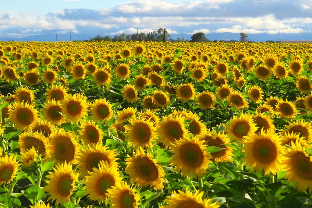 177|365 sunflower power