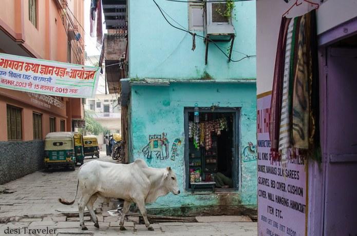 cow in lanes of Varanasi banaras galiyan