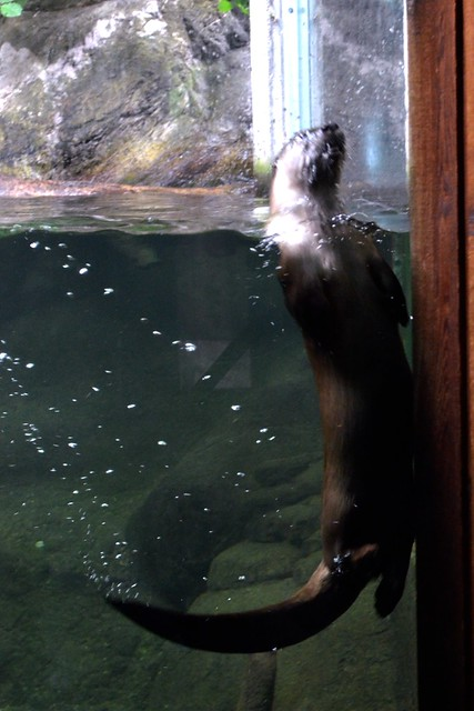 Waving Otter