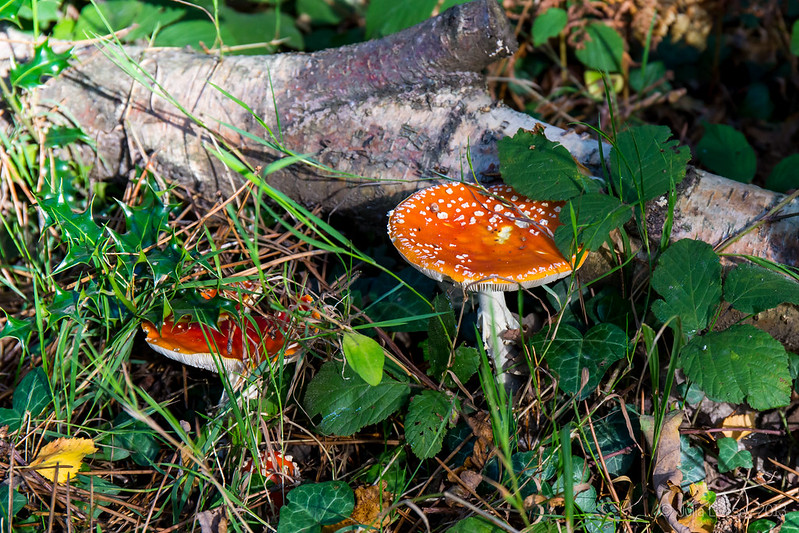 Fly Agaric, along the Roman Road