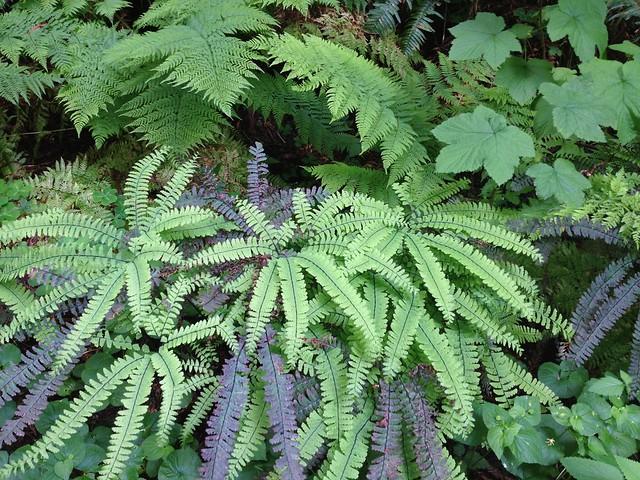 Aleutian maidenhair ferns