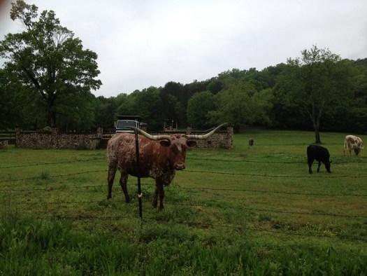 Longhorn at Lazy M Farm, Springville AL