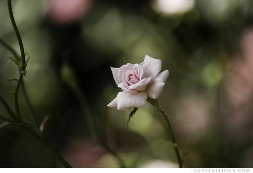 soft blush