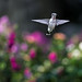 Juvenile Hummingbird Flying in the Garden_DSC1300