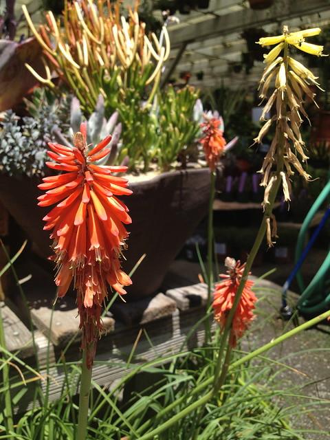 Orange flame poker plant