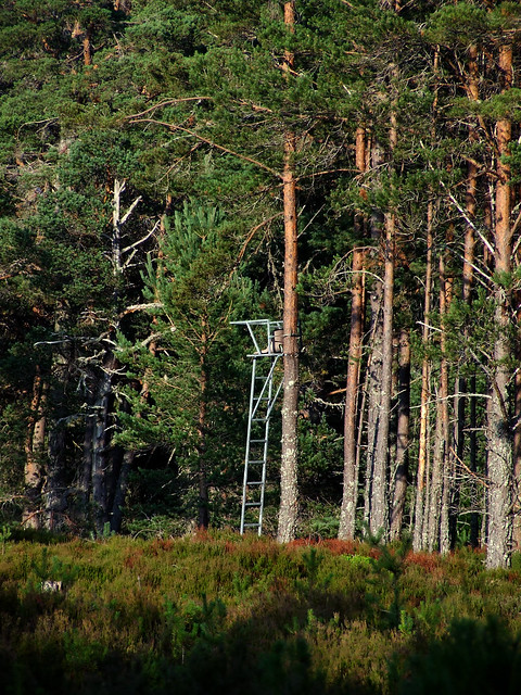 tree stand in the Abernethy forest