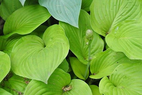 Hosta leaves and bud