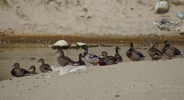 ducks 0001 4 Mile Beach, CA, USA