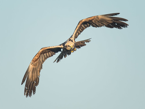 Male Marsh Harrier - head-on