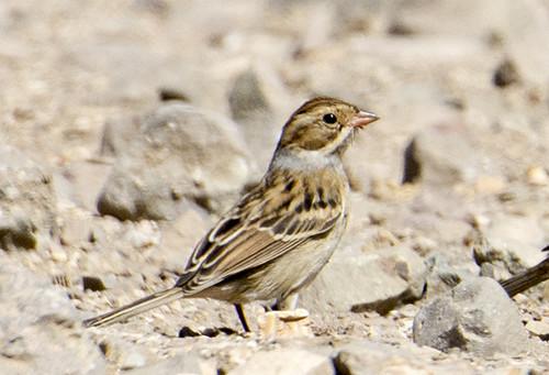 Santa Cruz Island: Clay-Colored Sparrow 1