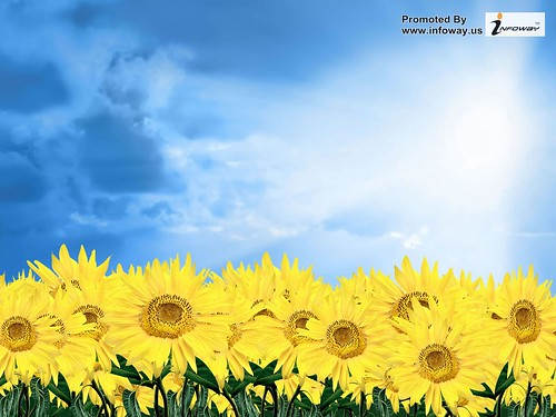 hd wallpapers sunflower pictures wallpaper