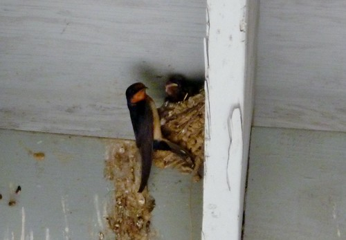 Barn swallow at nest