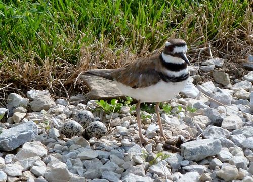 Killdeer with three eggs