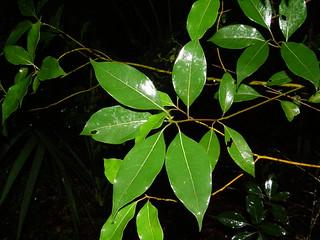 Alcanforero (Cinnamomun camphora)