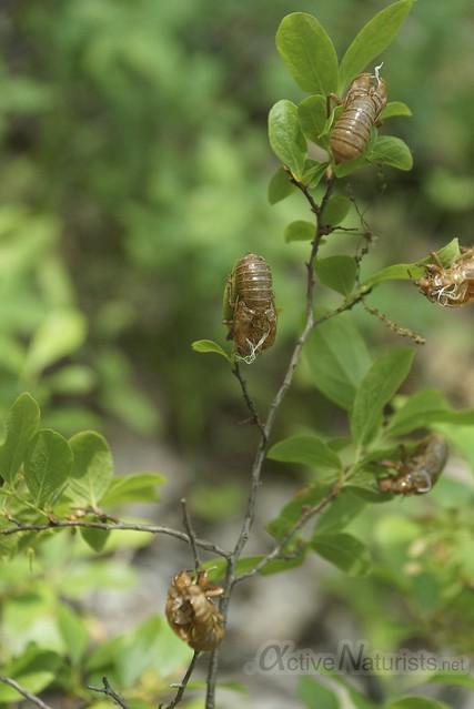 cicada 0001 Harriman State Park, NY, USA