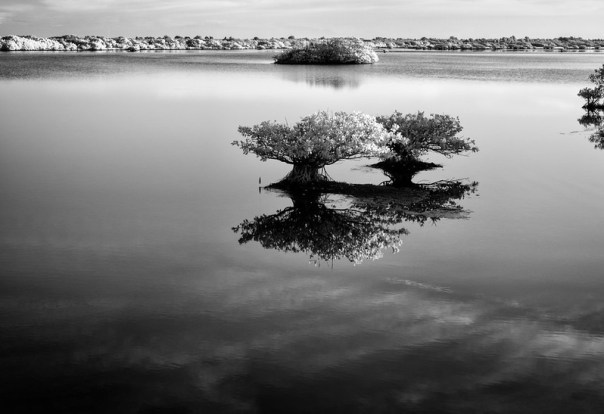 Reflecting mangroves