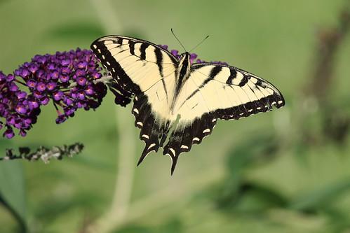 Eastern Tiger Swallowtail Butterfly (Saline, Michigan)