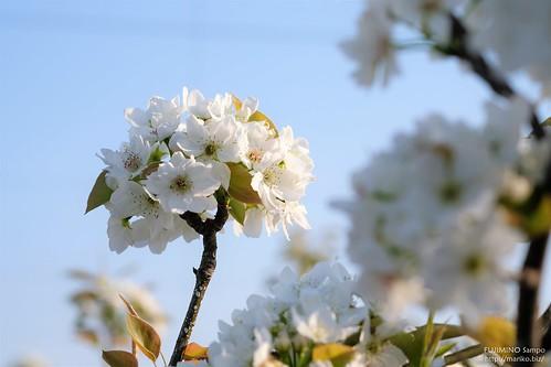 梨の花 20170416-DSCT6676 (2)